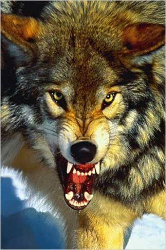 3362fe380314ad11d94a52fee04c8368--alpha-wolf-wolf-life