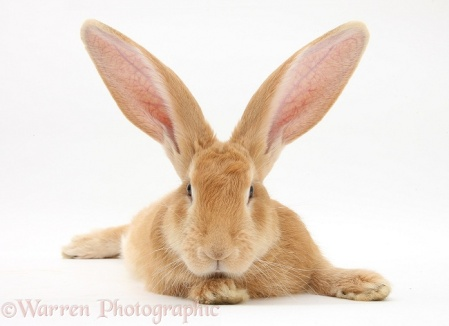 Flemish Giant Rabbit, Toffee
