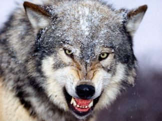 grey-wolf-02