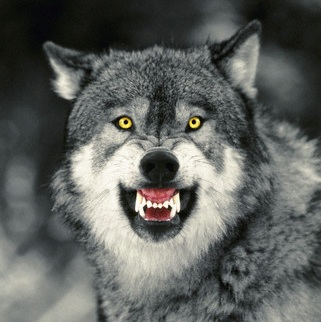 Snarling_Grey_Wolf_square
